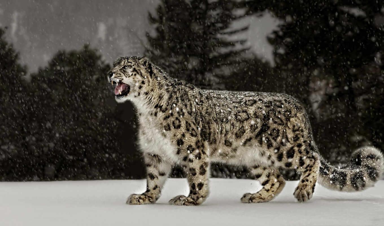 снег, леопард, ty,