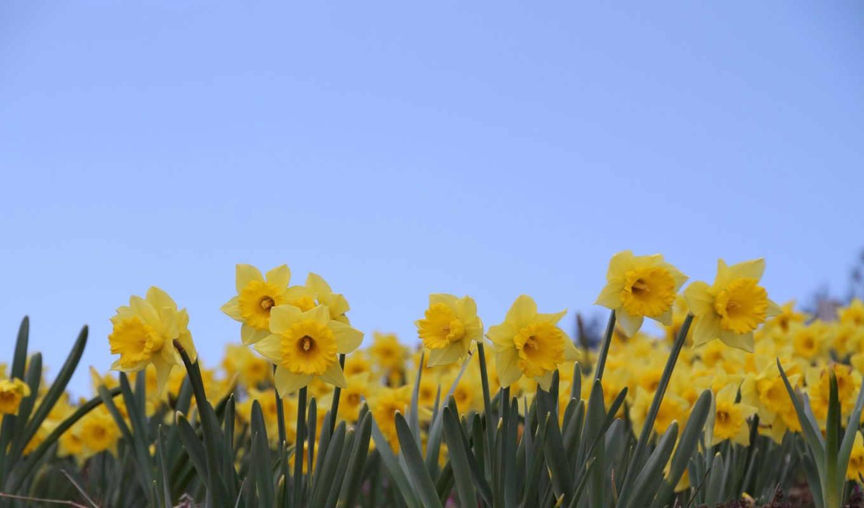 daffodils, flowers, views, daffodil, desktop, цветы,