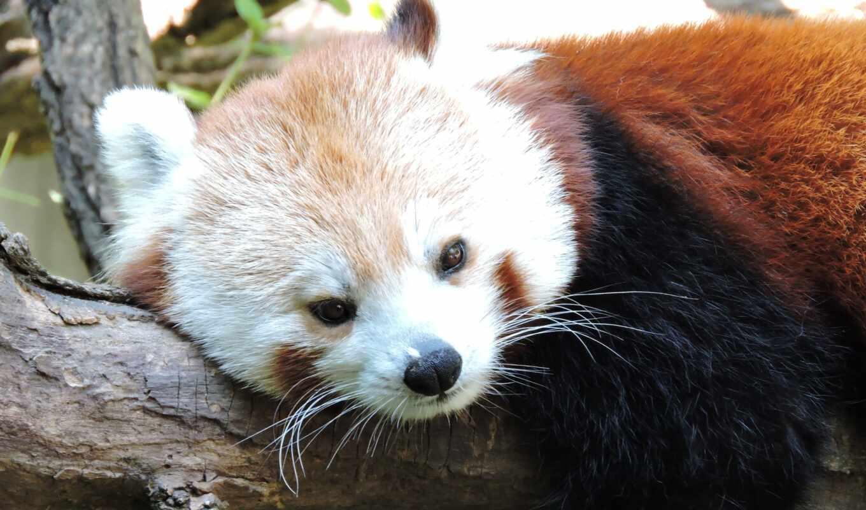 панда, red, ложь, small, mobile, smartphone, high, permission, animal, branch, дерево
