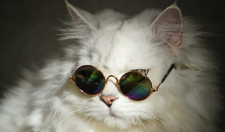 кот, white, glass, пушистый, sunglasses, май, cute, cool, british