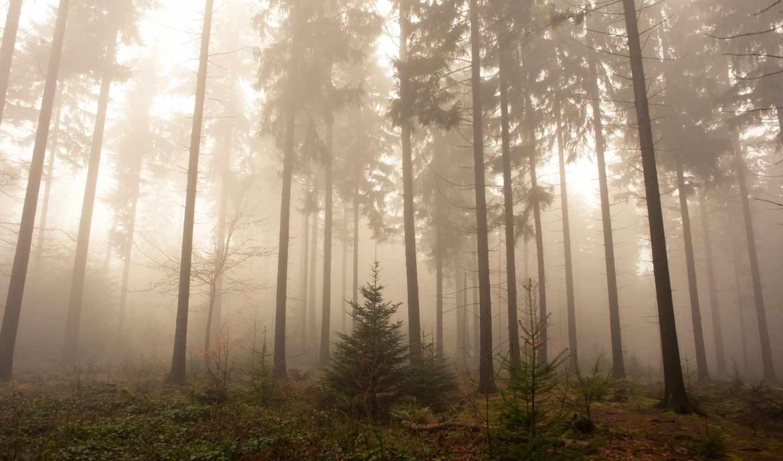 Обои елка, туман, утро. Природа foto 15