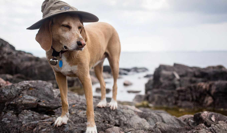 rock, собака, desktop, шляпа, animal, качество, high,