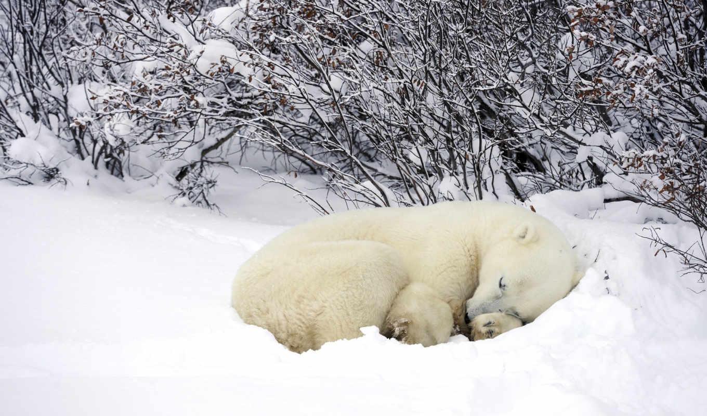 white, белые, красивые, фотографий, медведь, снегу, спит, разных, медведи, фоны,