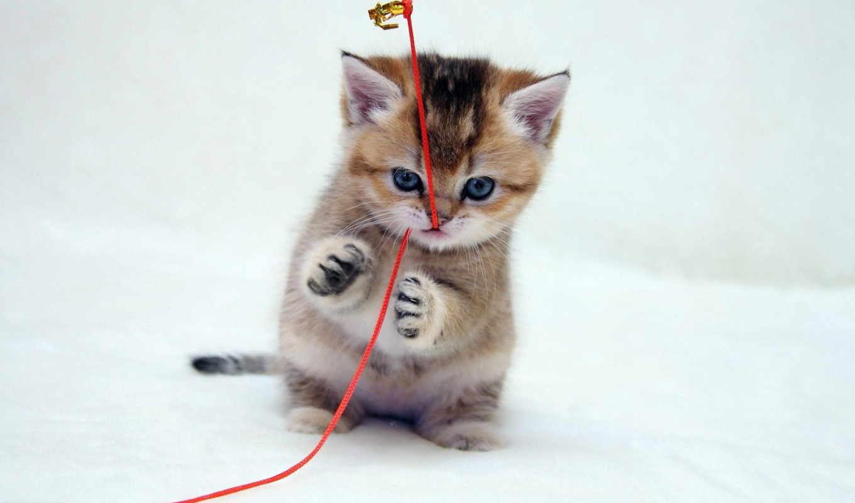котенок, котик, играет, веревкой, шотландский, кошки,