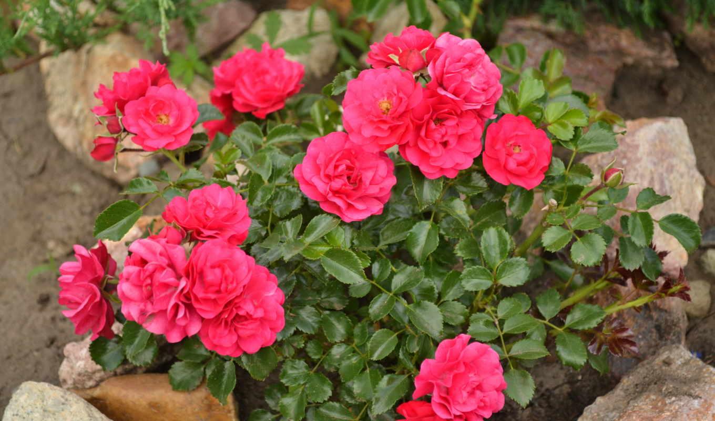 цветы, розы, flowers, roses, bouquets, букеты, desktop, количество, фото,