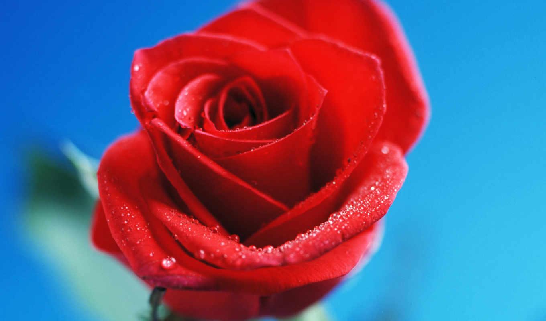 роза, красная, цветы, red,