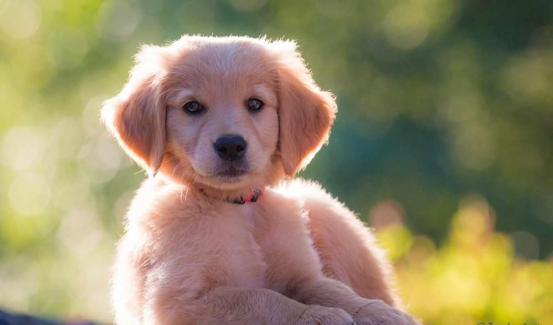 лежит, собака, золотистый, щенок, разных, retriever,