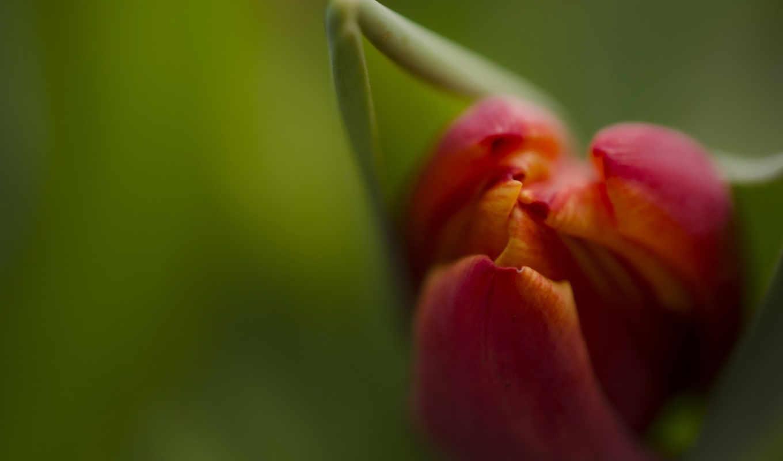 июл, цветы, flowers, коллекция, тюльпан, бутон, fone,