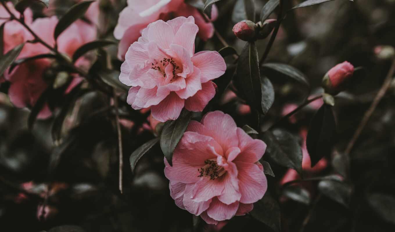 цветы, розовый, user, доска, фон, пина, цвета, wild, роза, exotic