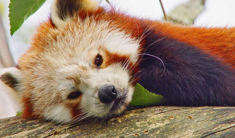 панда, red, animais, animal, kanarya