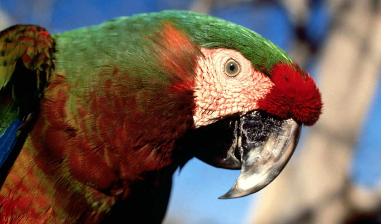 , macaw, parrots, bild, der, hybrid,