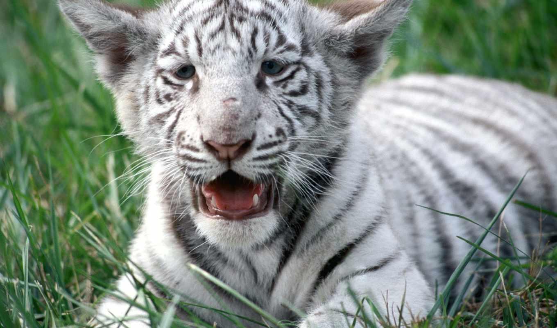 мб, zhivotnye, нояб, тигры, животных,