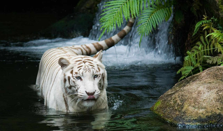 тигр, white, file, singapore, zoo, water, siberian, tigers,