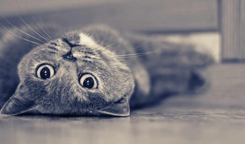 кошки, zhivotnye, британцы, кот, породы, высоком, разрешениях, разных,