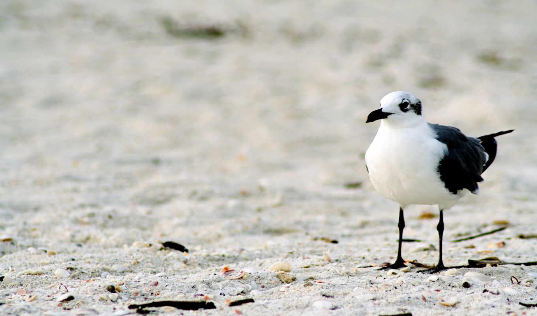 чайка, одинокая, photography, lonelyseagull, красивые, кнопкой, правой, песок, животные, animals, разрешением, фотографии, изображение,