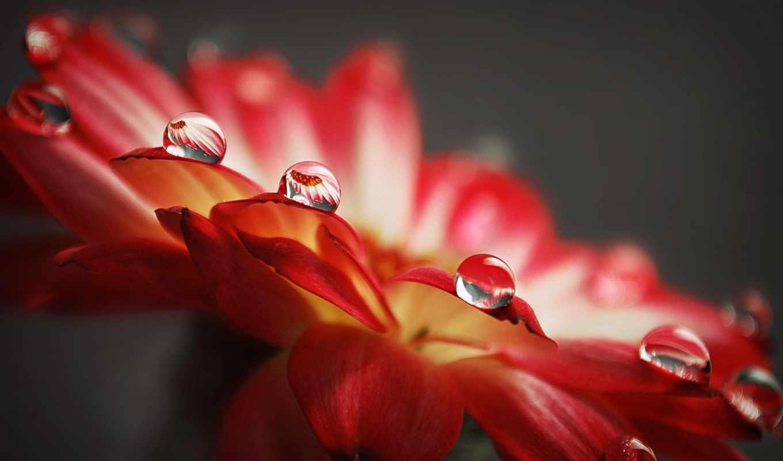 цветы, капли, вода, макро, лепестки, роса,