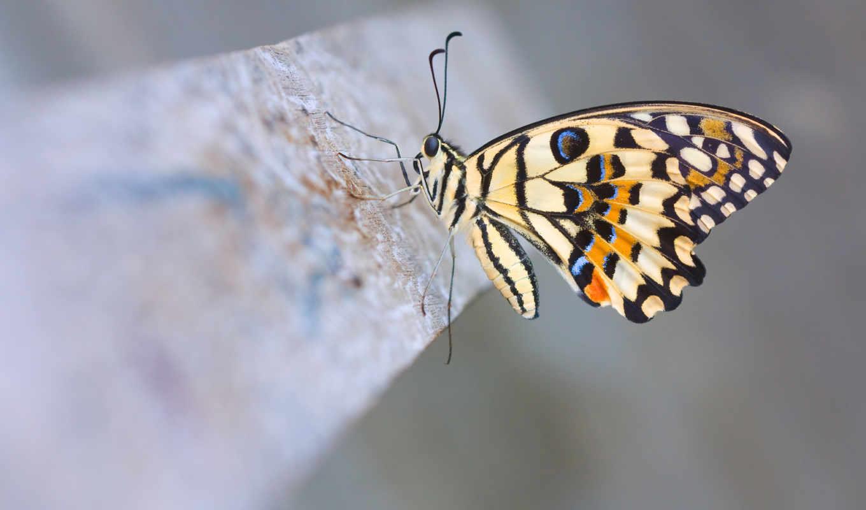 бабочка, макро, цветы,