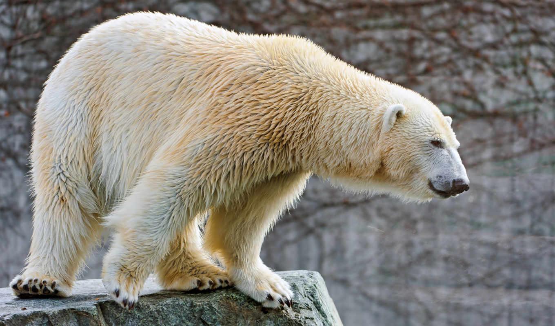 медведь, white,