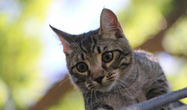 смотрит, котенок, серый,