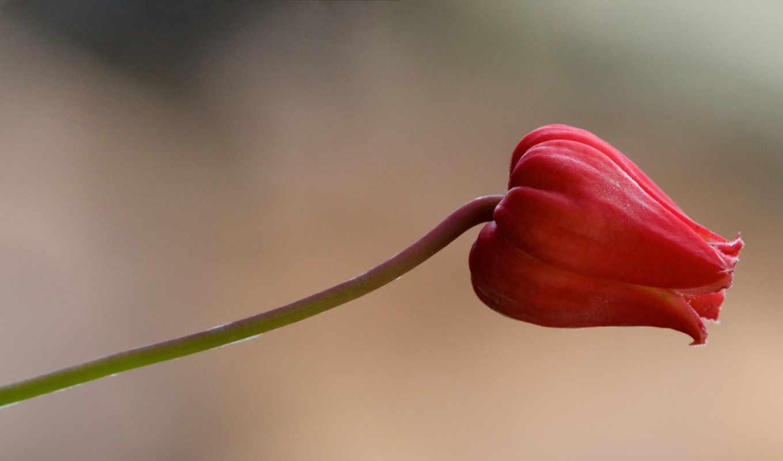 ,красный,цветок,