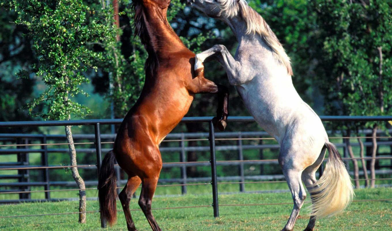 horses, животные, лошади, brown, картинку, white, picturescafe, bhp, code, los, caballos,