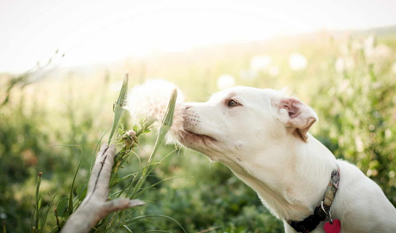 цветок, лето, собака, белая,