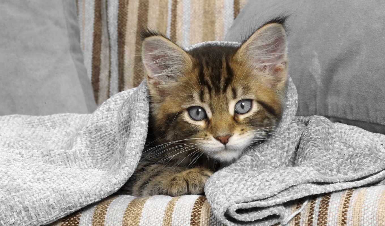 котенок, полосатый, uov, голубоглазый, под, малыш, голубыми, лежит, глазами,
