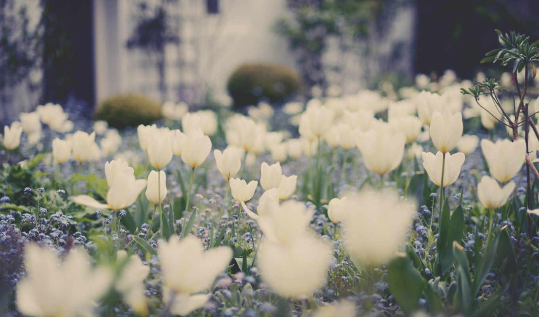 тюльпаны, white, белые, незабудки, tulips, cvety, arşivimden, güzel,