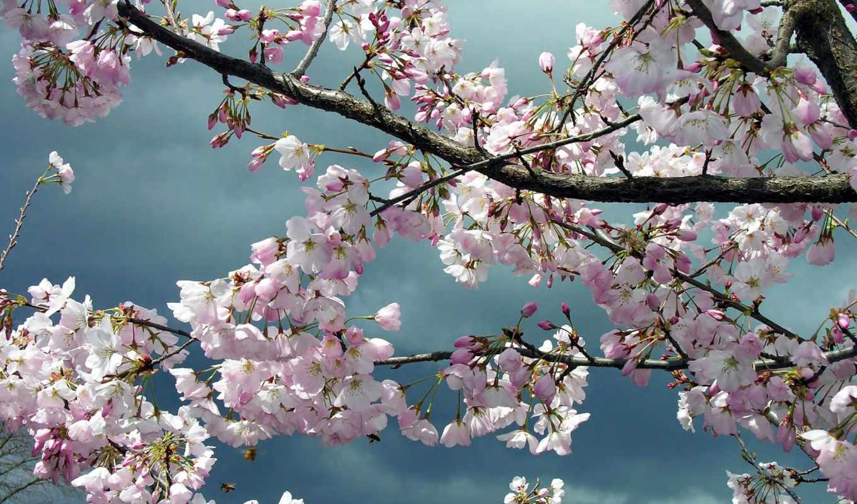 дерево, цветение, весна, ветви, взгляд, Сакура, apple, цветущий,