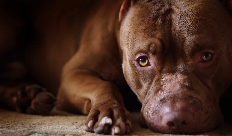 собака, zhivotnye, bull, американский, pitbull, desktop, бультерьер,
