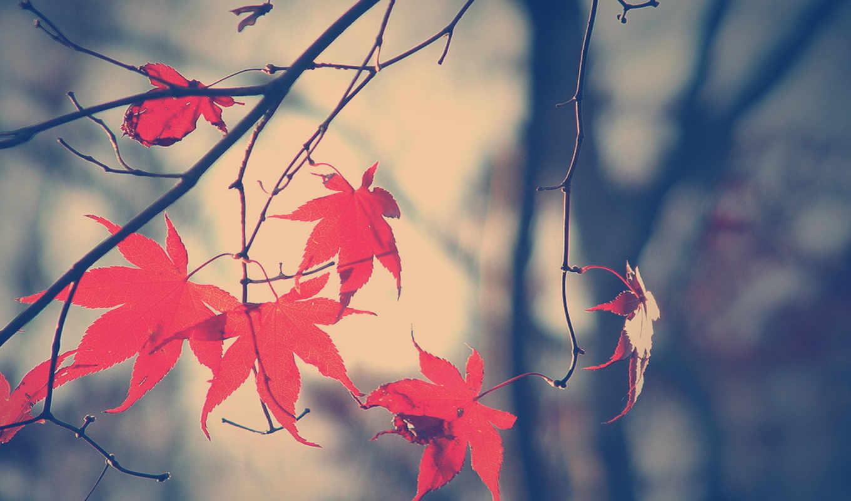 листья, осень, ветка, fall, ветки, картинка, красные,