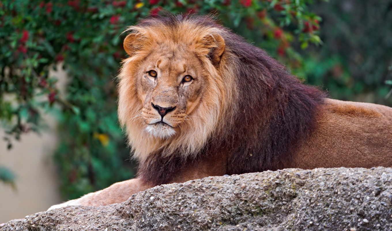 lion, смотрит, грива, лежит, камень,