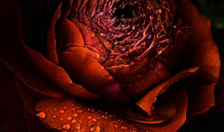 цветы, кб, роза, капли, flowers, лепестки,