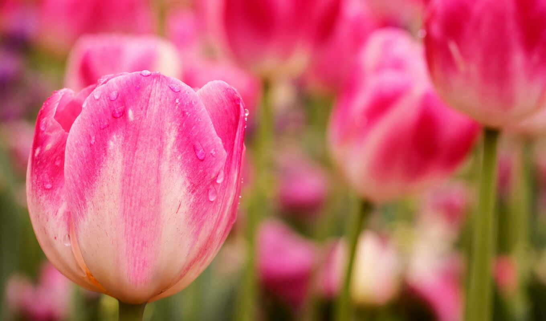 цветы, тюльпан, природа, розовый, lovely, colorful, тема, качество, растение, красавица