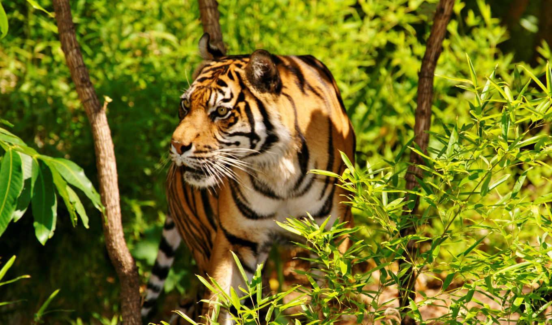 nvidia, тигры,