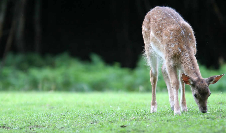 fawn, животные, animals, олени,