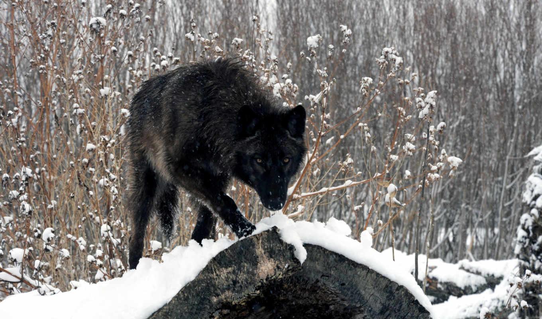 волк, black, лес,