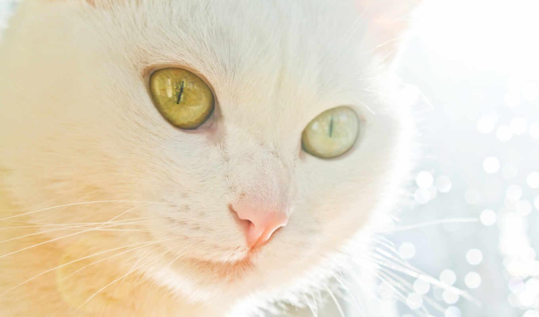 кот, white, поставьте, уберите, белые, pussycat,