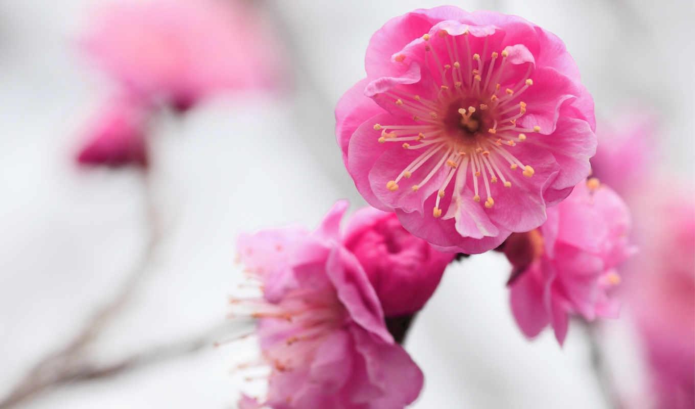 цветы, розовые, абрикос, макро, цветение, ветка, размытость,