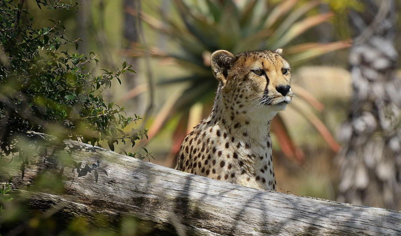 гепард, взгляд, морда, хищник, интерес, картинка,