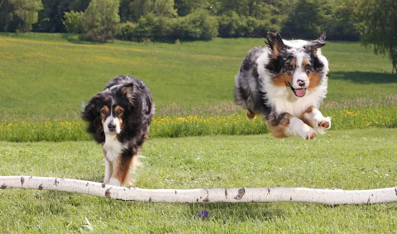 собака, собаки, собак, бежит, loading, овчарка,