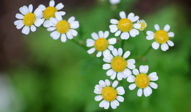 зелень, ромашки, природа, uh, лета, хочется, цветы, фото, chamomile, flowers,