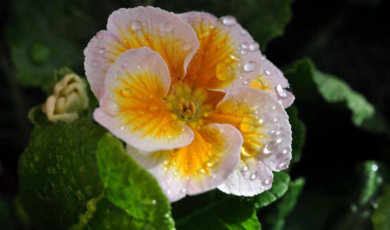 цветы, мокрые, фиалки, капли,