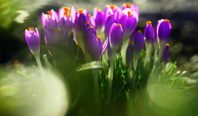 первоцвет, цветы, крокусы, фиолетовые, трава, весна,