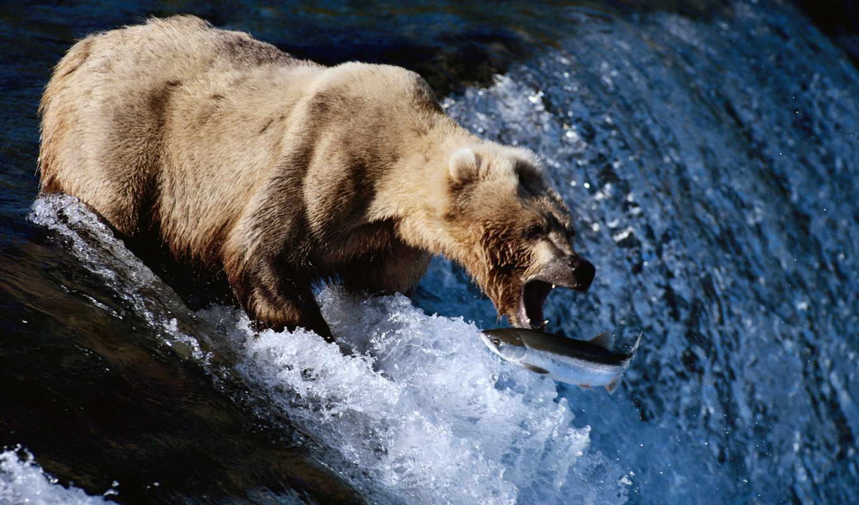 медведь, рыбу, ловит, код, руб,