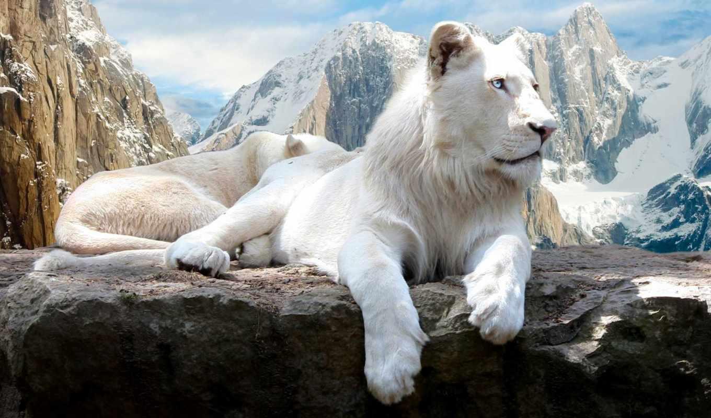 lion, горы, white, кот, zhivotnye,