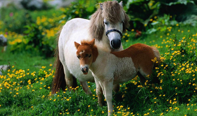 лошадь, жеребенок, ребенок, пони, мама, трава, картинку, картинка, кнопкой, мыши, животные, лошади,