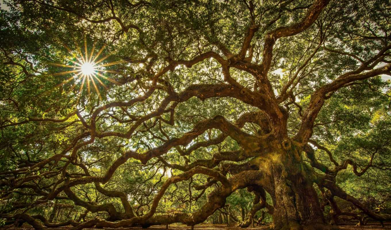 дерево, дуб, природа, trees, деревья, ангела, марта, south,