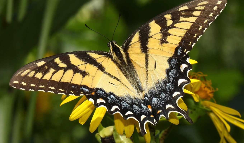 бабочка, лету, makro, сумки, цветок,
