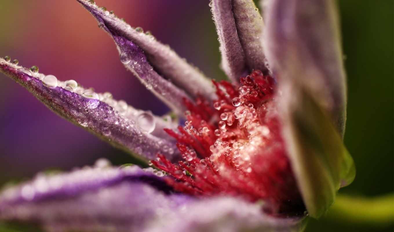 макро, nature, drops, tags, бутон, favorites, next, цветок, капли, распускается, flowers,
